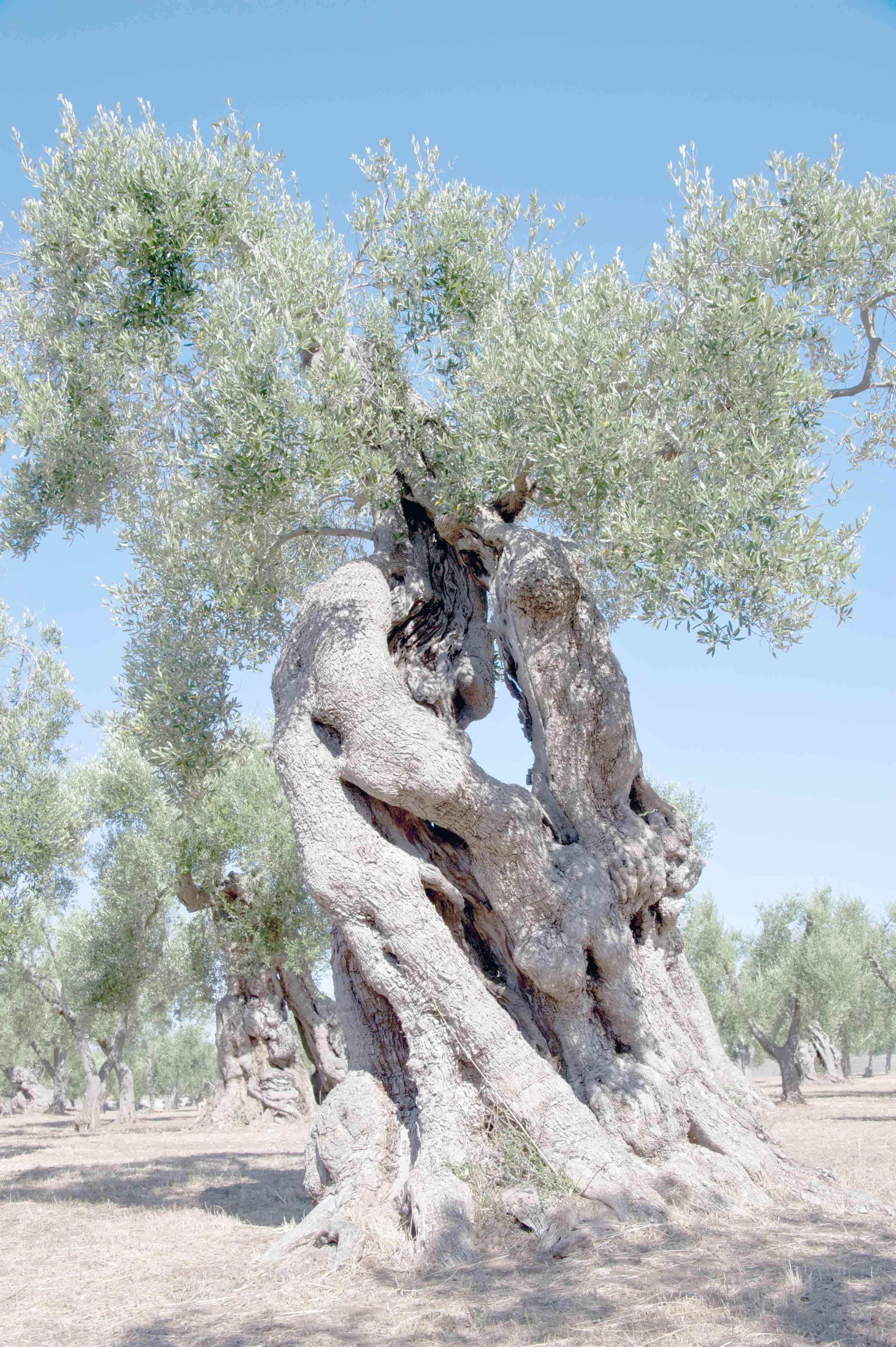 La tradizionale raccolta delle olive nel salento oasi for Raccolta olive periodo
